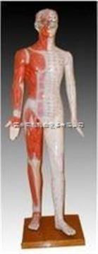 60cm解剖針灸模型