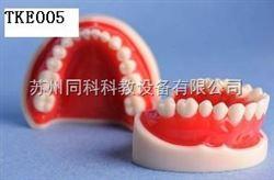 TKE005仿真标准牙模