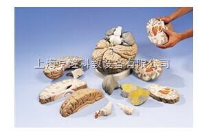 新巨型脑模型,实物的2.5倍,14部分