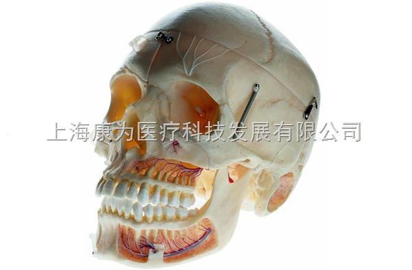 """成人头颅骨附血管神经模型 运动系统系列 成人头颅骨附血管神经模型 运动系统系列功能特点:  可分解10部件。  尺寸:自然大  材料:PVC材料 """"康大夫""""产品售后服务: 我公司生产出厂的科教设备产品一律实行质量三包,终身维护的售后服务制度。 1、为每一个客户建立用户档案,每月定期电话回访或人员不定期到访。 2、设备类产品免费派人上门安装调试,,我公司的技术工程师为您提供基础、全面、专业的设备安装支持,实现标准化的现场安装。 3、提供详尽而完善的使用说明书和实验指导书。 4、免"""