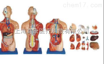 无性躯干模型18件(人体骨骼模型)