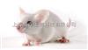 ICR小鼠,