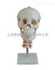 ZK-XC135头骨带颈椎模型(人体骨骼模型)